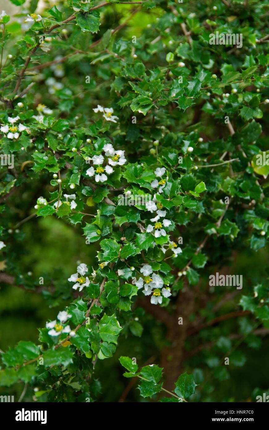 Malpighia coccigeria, Singapor Holly, - Stock Image
