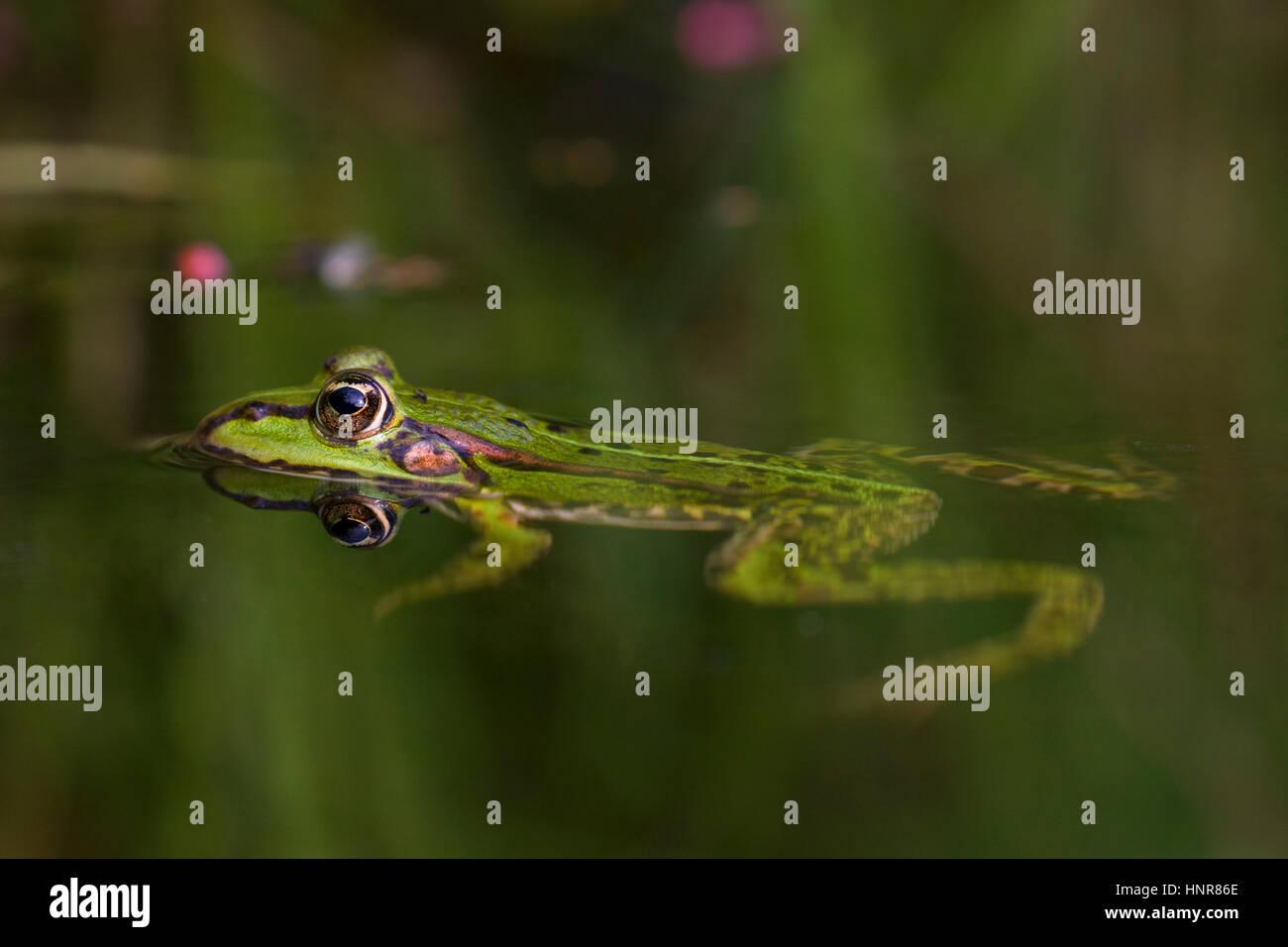 Edible frog / common water frog / green frog (Pelophylax kl. esculentus / Rana kl. esculenta) floating in water - Stock Image