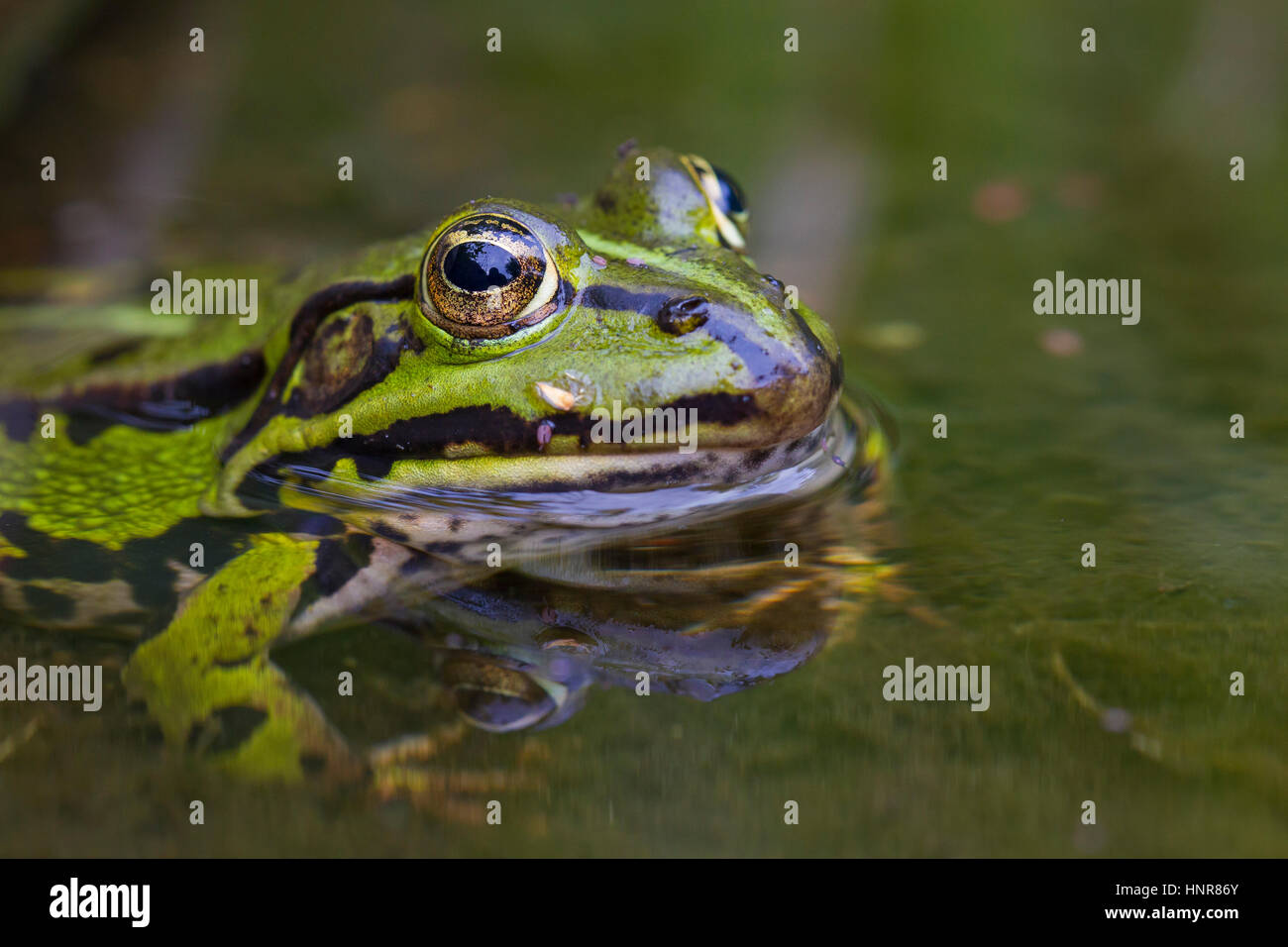 Edible frog / common water frog / green frog (Pelophylax kl. esculentus / Rana kl. esculenta) in pond - Stock Image