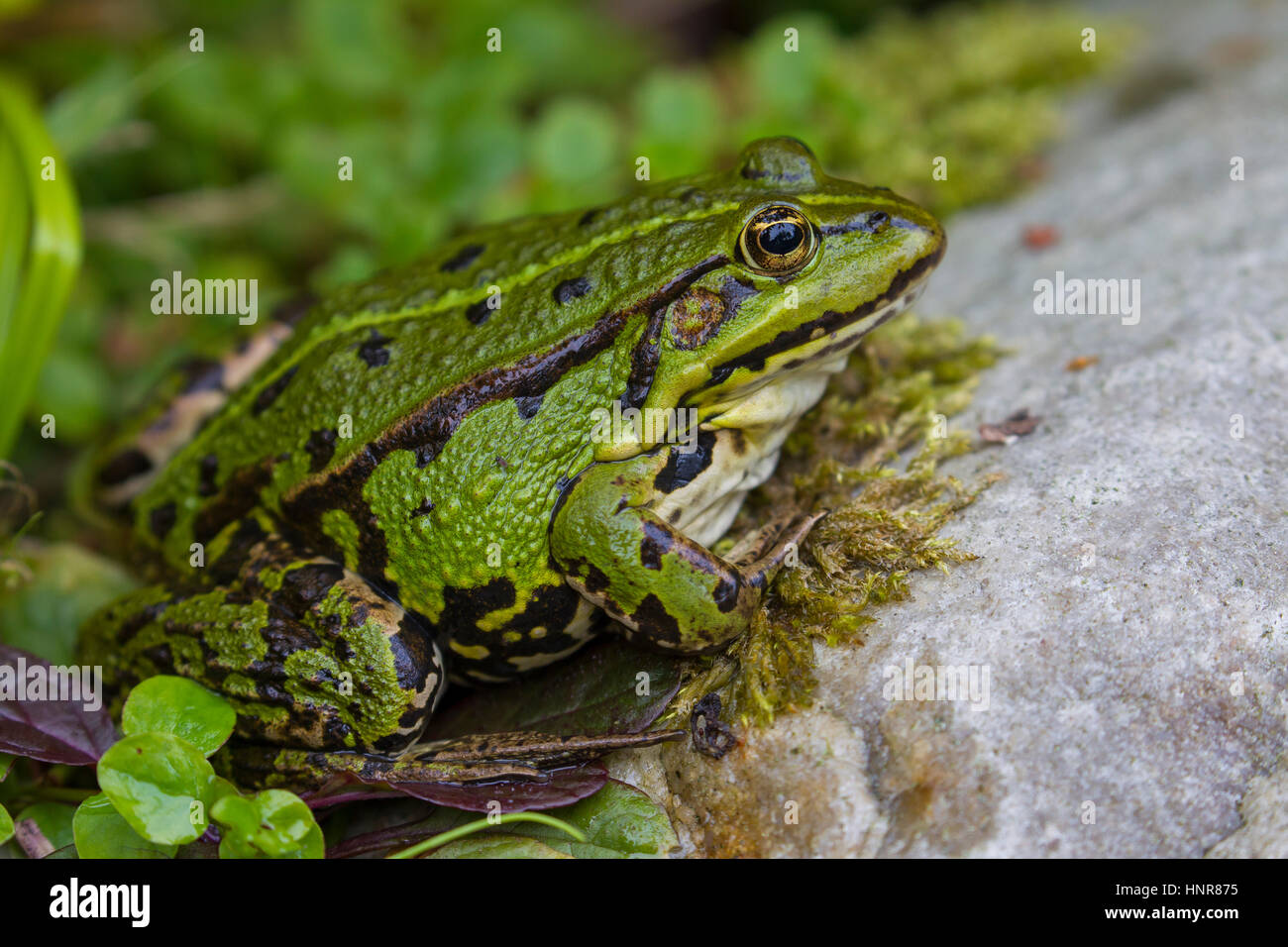 Edible frog / common water frog / green frog (Pelophylax kl. esculentus / Rana kl. esculenta) on land - Stock Image
