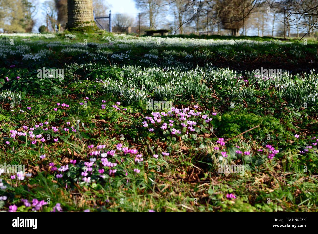 Galanthus Nivalis Cyclamen Coum Lawn Snowdrop Snowdrops