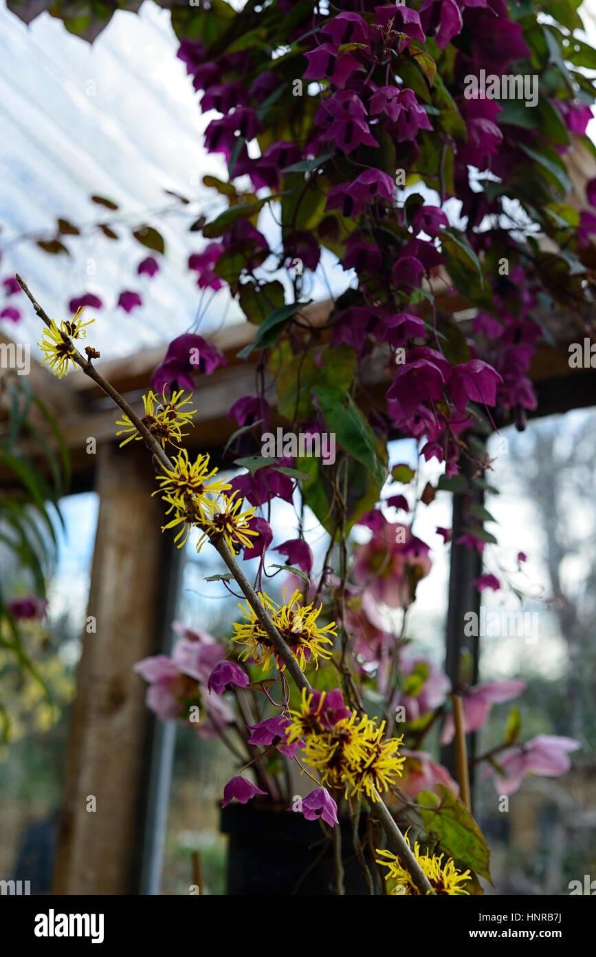 Hamamelis mollis, Rhodochiton atrosanguineum, pink, yellow, flower, flowers, flowering, winter, greenhouse, glasshouse, - Stock Image