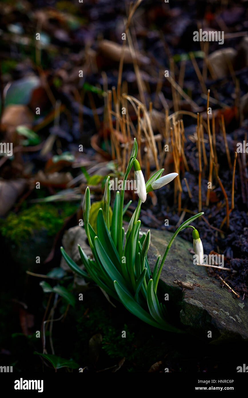 galanthus nivalis, grow, growing, out, from, under, rock, seedling, self seeded, garden, cover, covered, tenacious, - Stock Image
