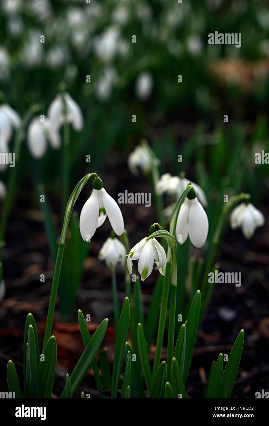 Galanthus Nivalis Flore Pleno Snowdrops Snowdrop Spring Green
