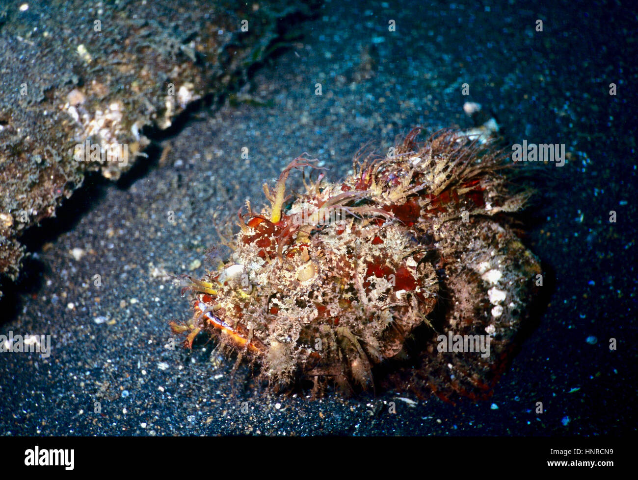 The hairy or striated frogfish (Antennarius striatus) - a highly camouflaged fast striking ambush predator - is - Stock Image