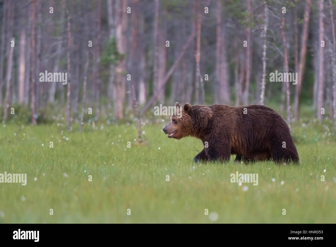 Brown bear at the edge of the forest, Braunbaer am Waldrand - Stock Image