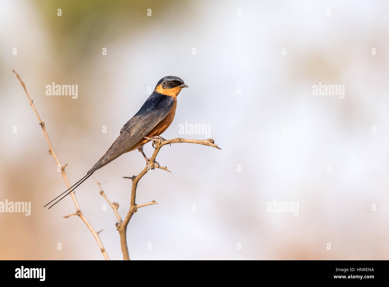 Red Breasted Swallow Stock Photos