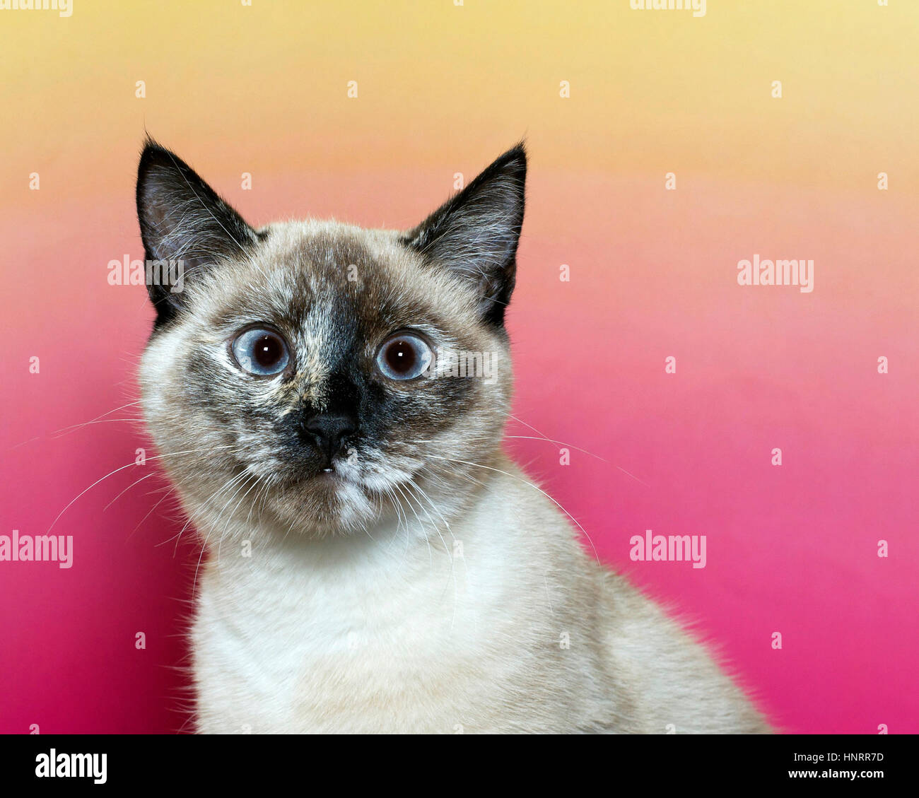 cross eyed seal point siamese kitten looking forward with a pink and