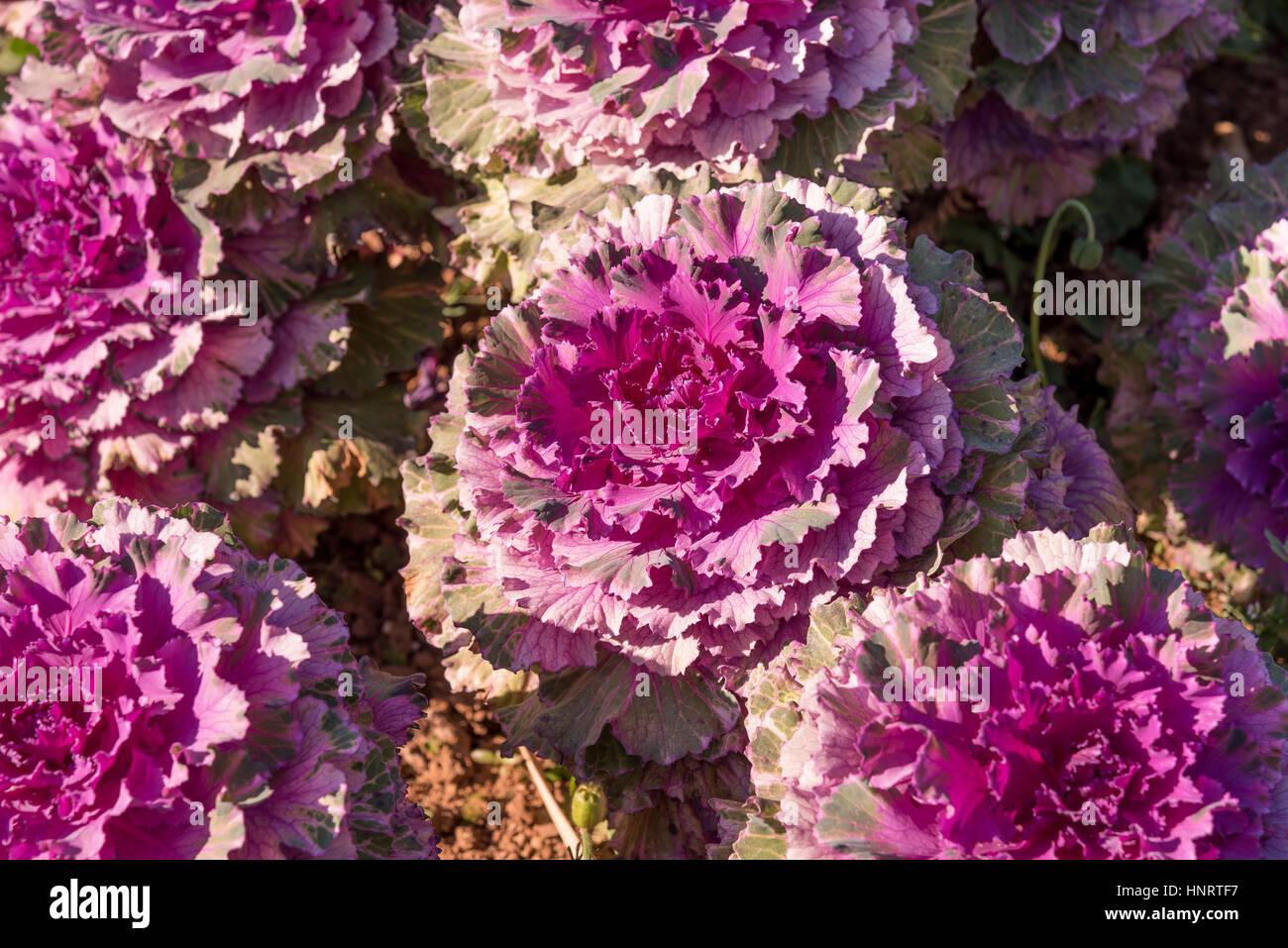 Ornamental Kale Flowering Stock Photos Ornamental Kale Flowering