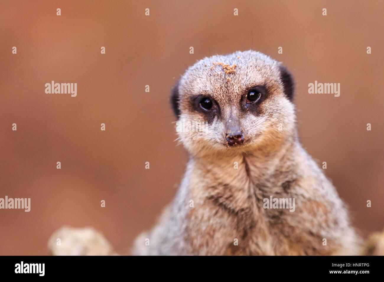 Close up of a meerkat - Stock Image