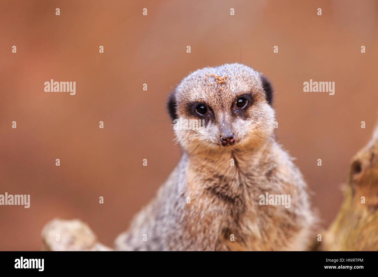 Close up ofcute meerkat - Stock Image