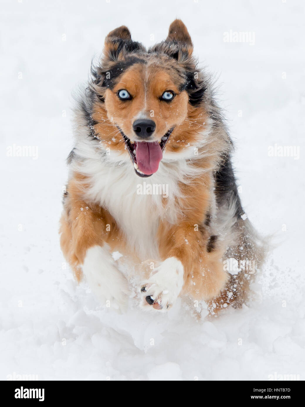 Stunning tri-color blue eyed Australian Shepard Shepherd Aussie dog running, frolicking, playing, leaping mid air - Stock Image