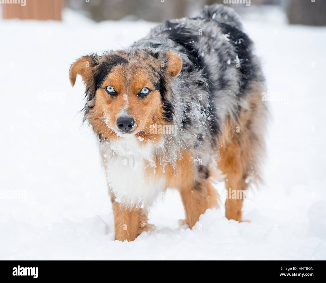 Stunning tri-color blue eyed Australian Shepard Shepherd Aussie dog  in the snow looking at camera - Stock Image