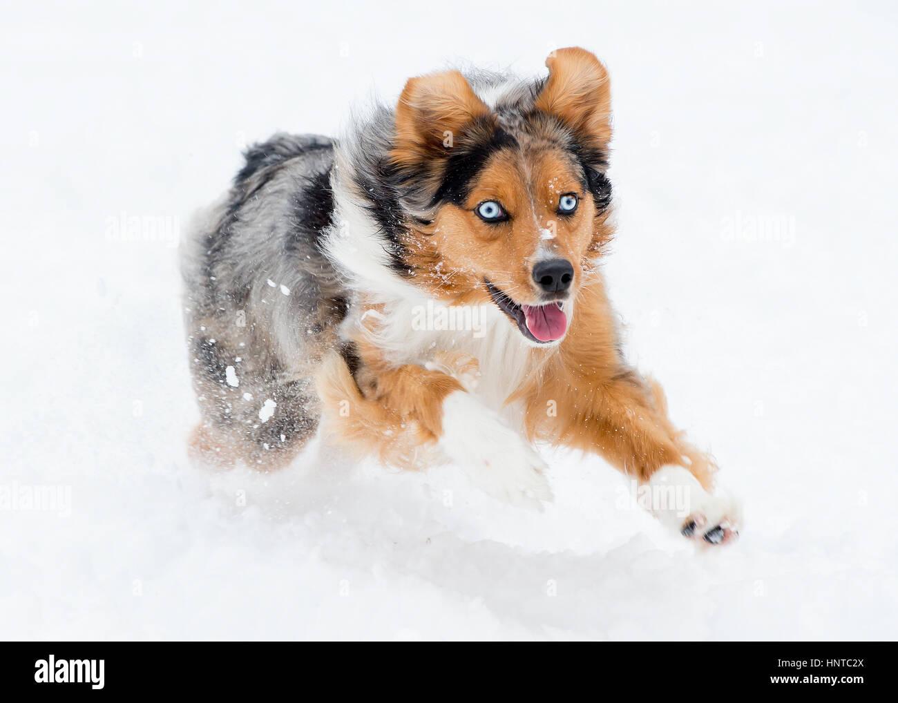 Stunning tri-color blue eyed Australian Shepard Shepherd Aussie dog running, frolicking, playing, leaping mid air - Stock Image