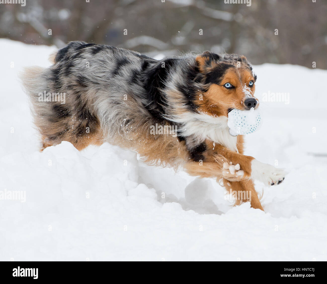 Stunning tri-color blue eyed Australian Shepard Shepherd Aussie dog leaping mid-air jumping running in the snow - Stock Image