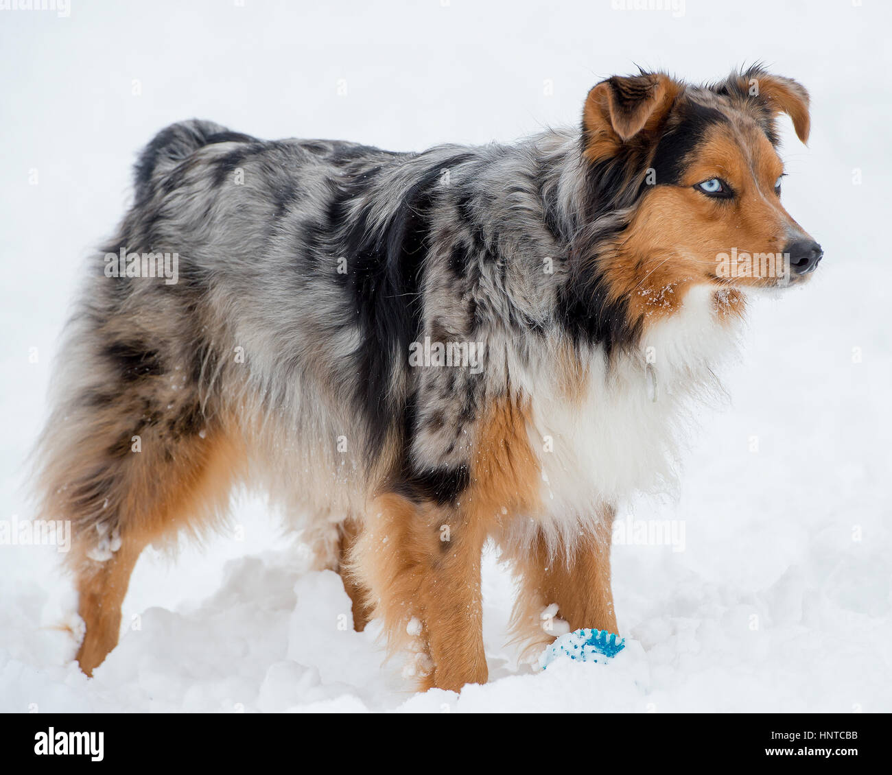Stunning tri-color blue eyed Australian Shepard Shepherd Aussie dog standing the snow - Stock Image