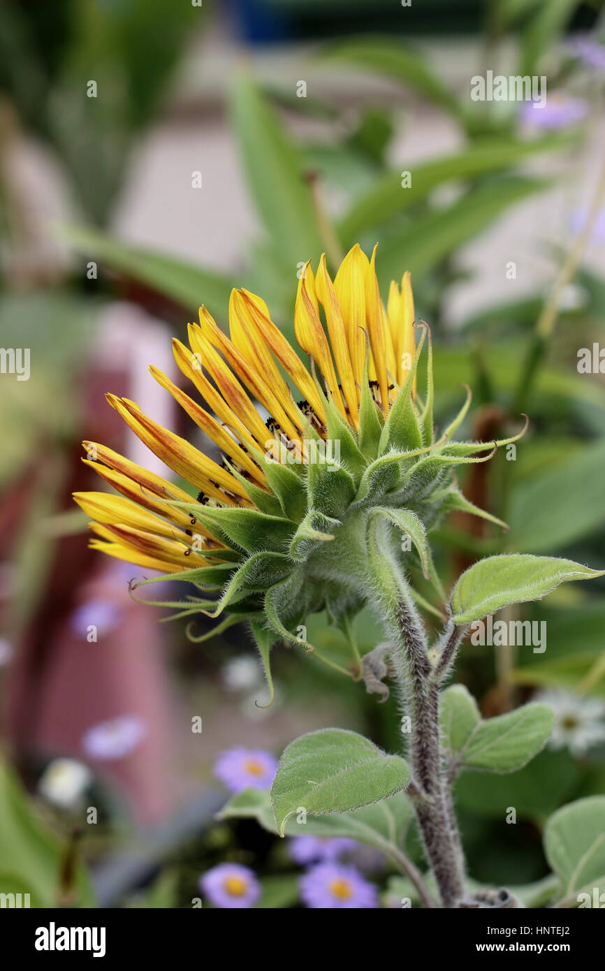Blooming Royal Velvet sunflower  - back view - Stock Image