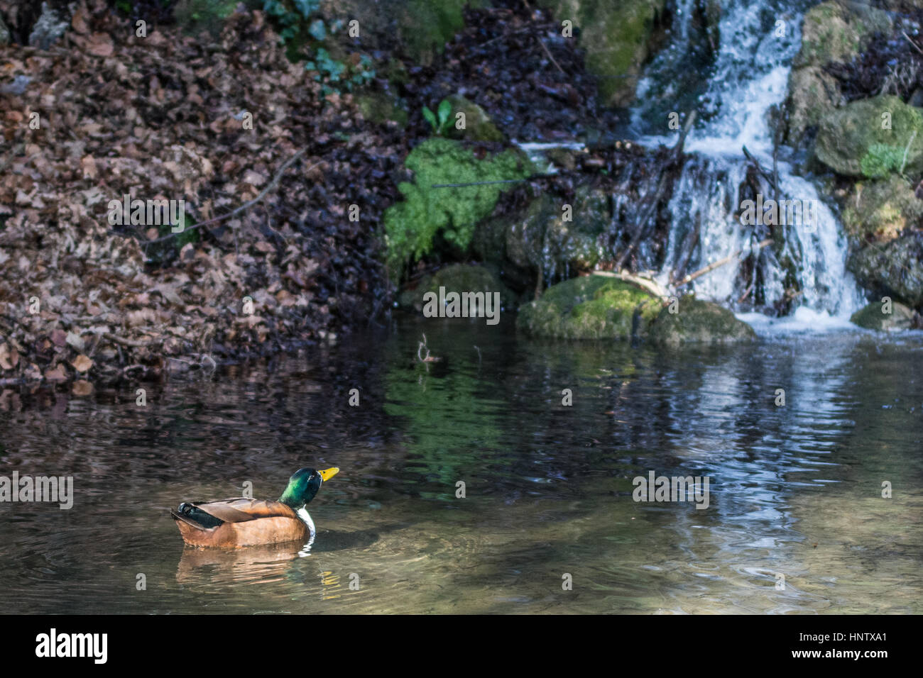 Duck into the pond with waterfall in background - Stock Image