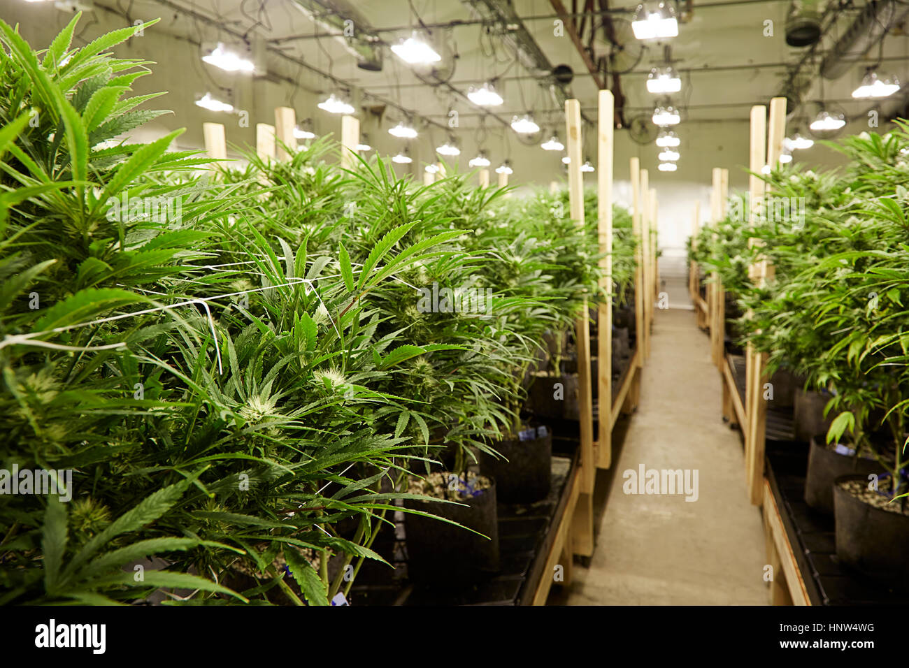Cannabis plants growing in greenhouse - Stock Image