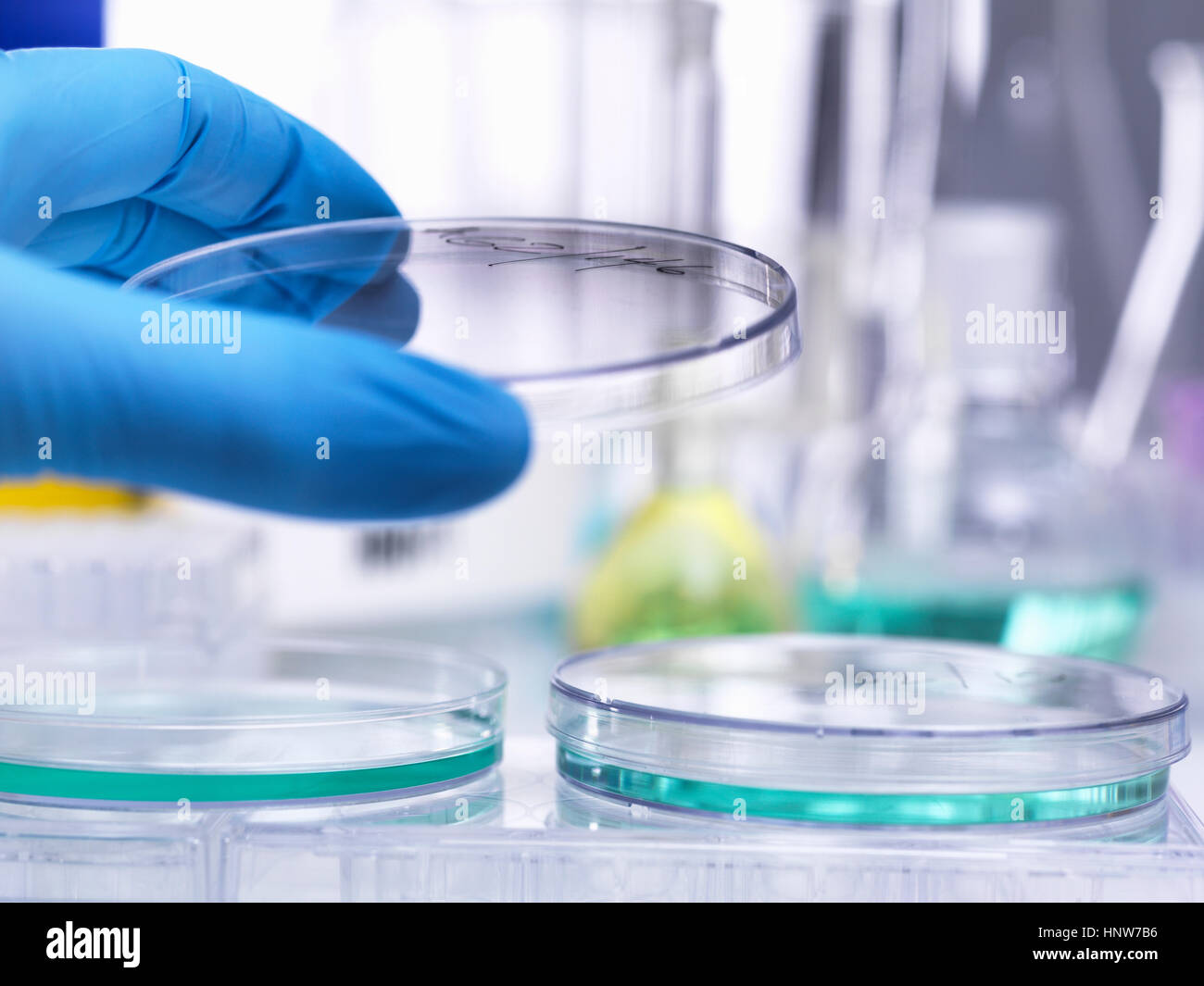 Scientist lifting lid of petri dish to inspect growth of specimen during experiment in laboratory - Stock Image