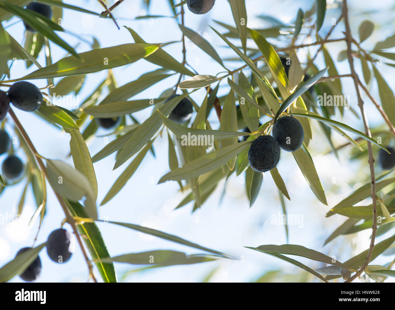 Ripe black olives hanging on a trees in southen spain shot for below with a blue sky above in the background. - Stock Image