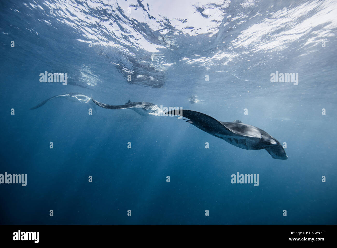 Reef Manta, underwater view, Cancun, Mexico - Stock Image