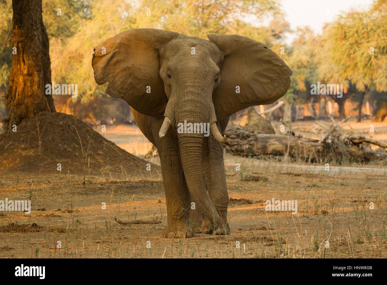 Portrait of bull elephant (Loxodonta africana) with a bullet hole in forehead, Mana Pools National Park, Zimbabwe - Stock Image