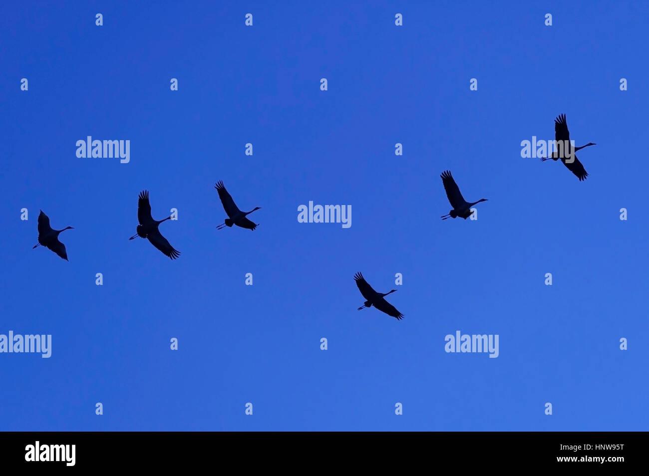 Crane, bird of the luck, Kranich, Vogel des Gluecks Stock Photo