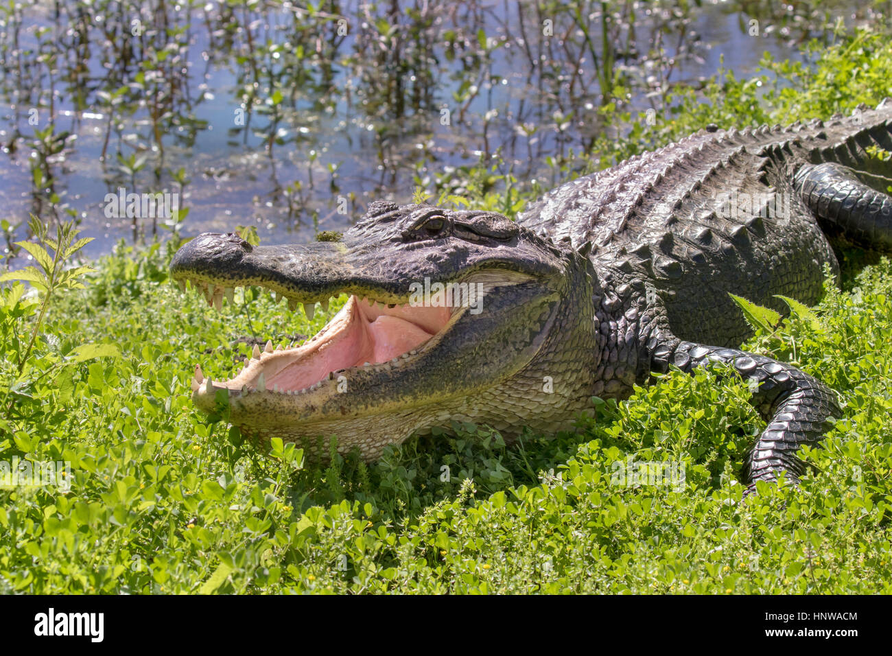alligator with open mouth in the green grass - Stock Image