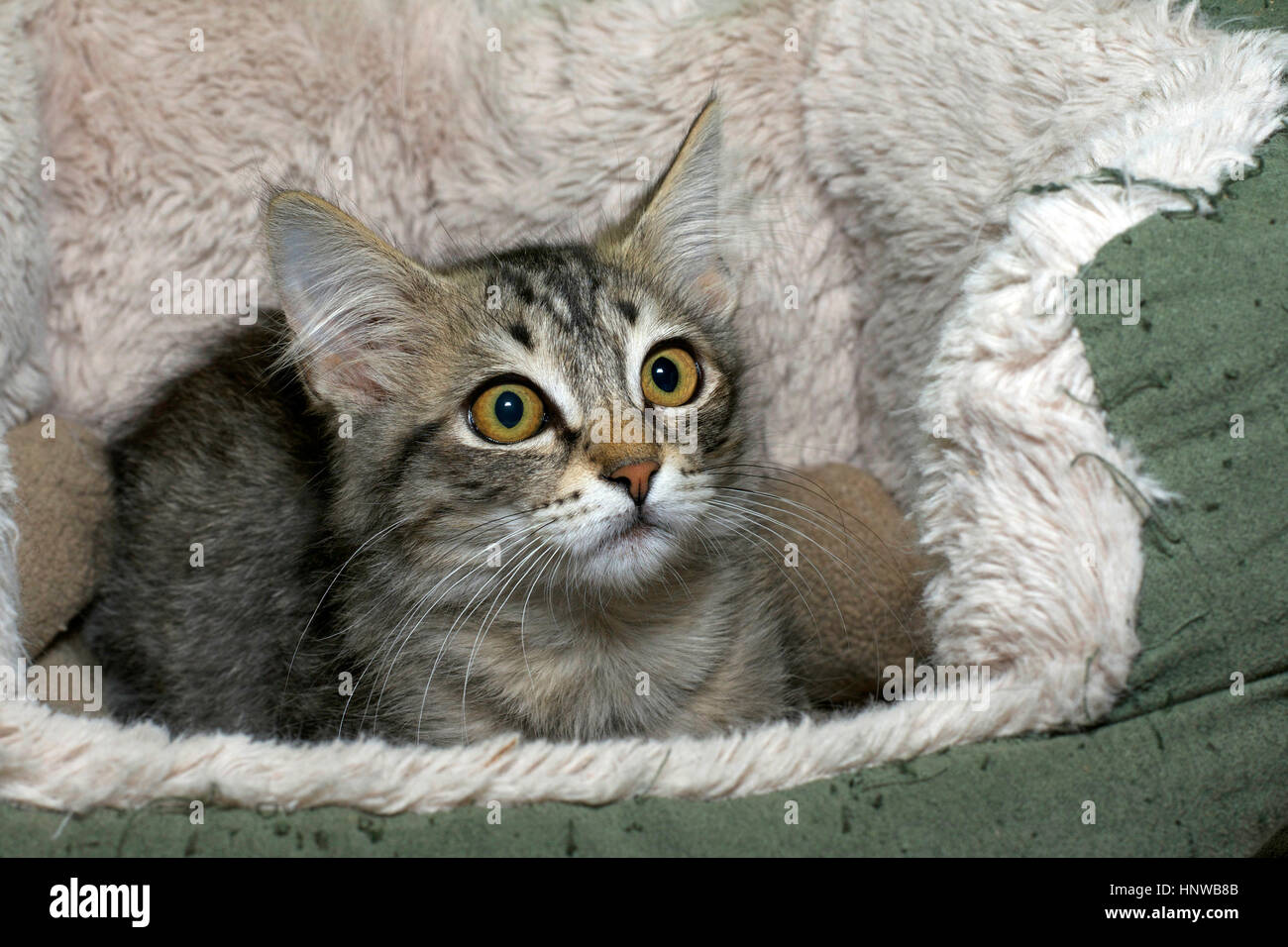 Black tan and cream colored tabby kitten looking surprised laying in a sheep skin bed big yellow green brown eyes - Stock Image