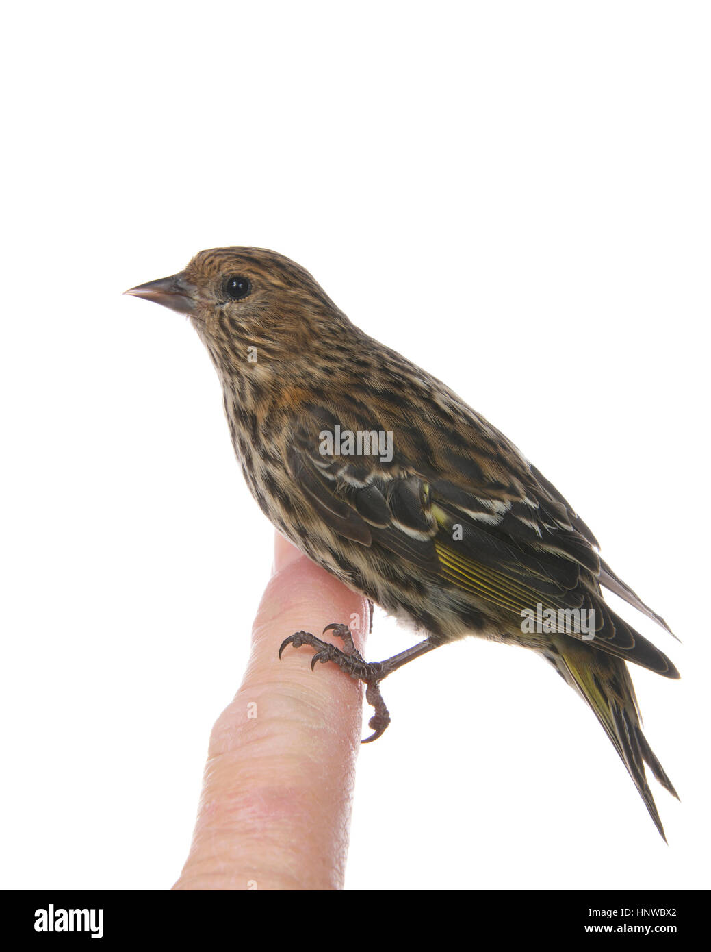 The pine siskin, Spinus pinus, a North American bird in the finch family perched on human finger isolated on white, - Stock Image