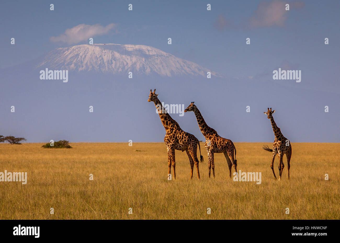 Giraffe, Giraffa camelopardalis, with Mount Kilimanjaro in the background, Chyulu Hills National Park, Kenya - Stock Image