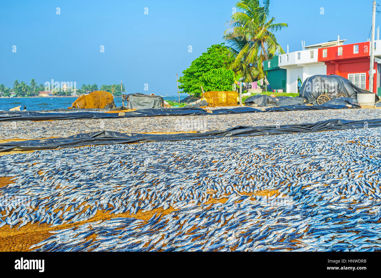 The traditional method of drying anchovies is used by fishermen of Negombo, Sri Lanka. Stock Photo