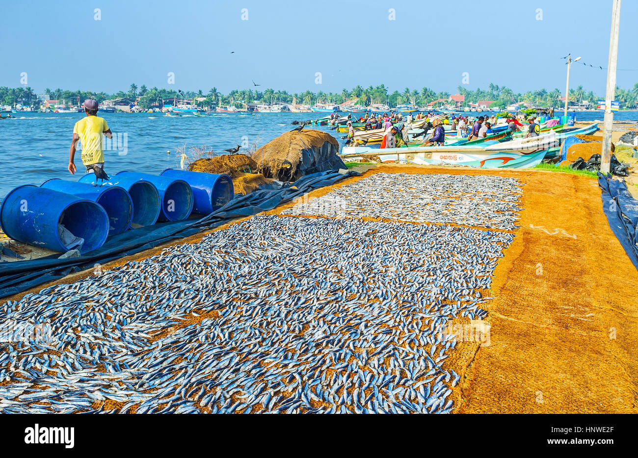 NEGOMBO, SRI LANKA - NOVEMBER 25, 2016: The anchovies dry in the sun with the numerous boats and working fishermen Stock Photo