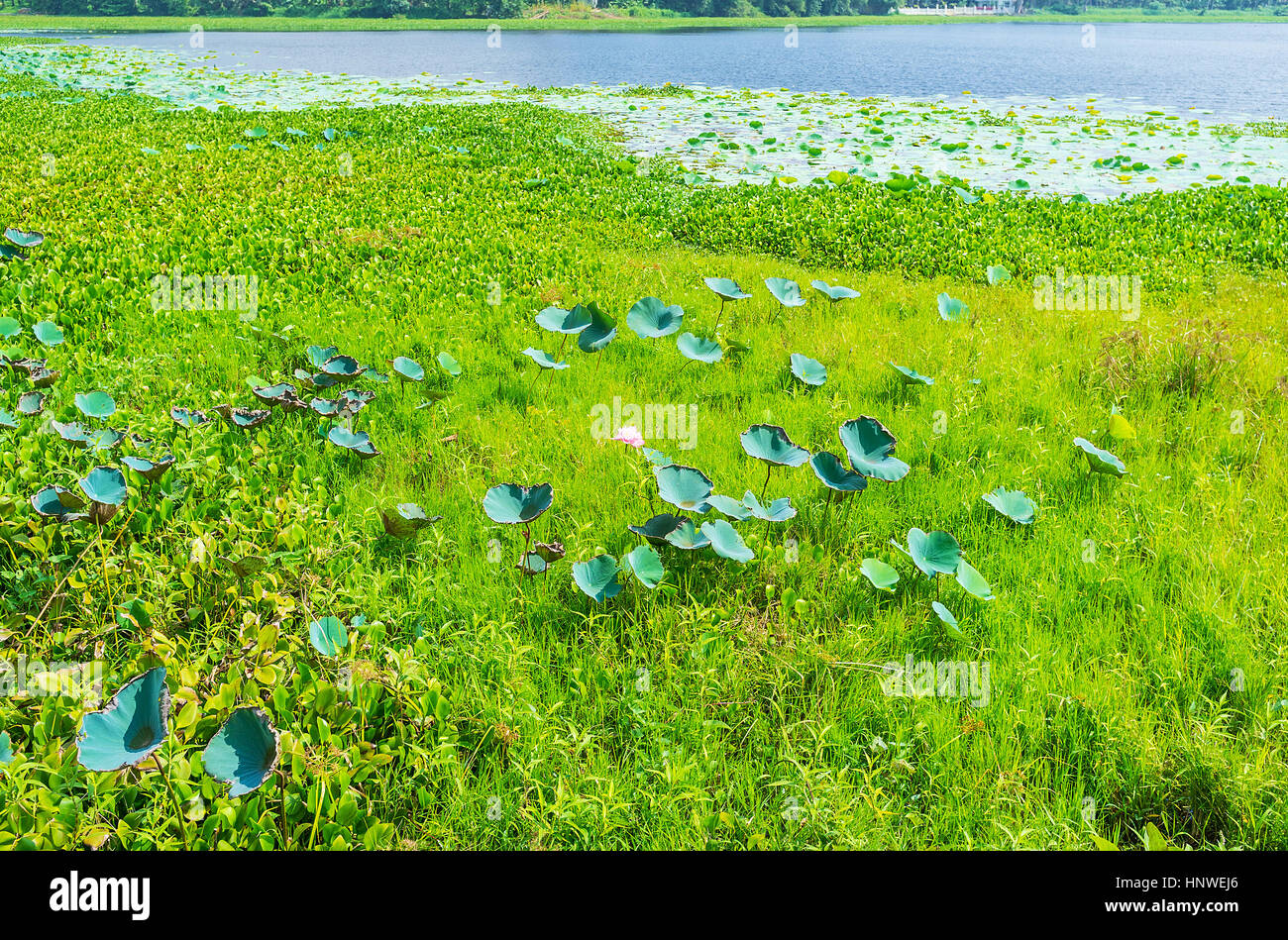 The Large Green Leaves And Bright Flowers Of Lotus Plants Grow At