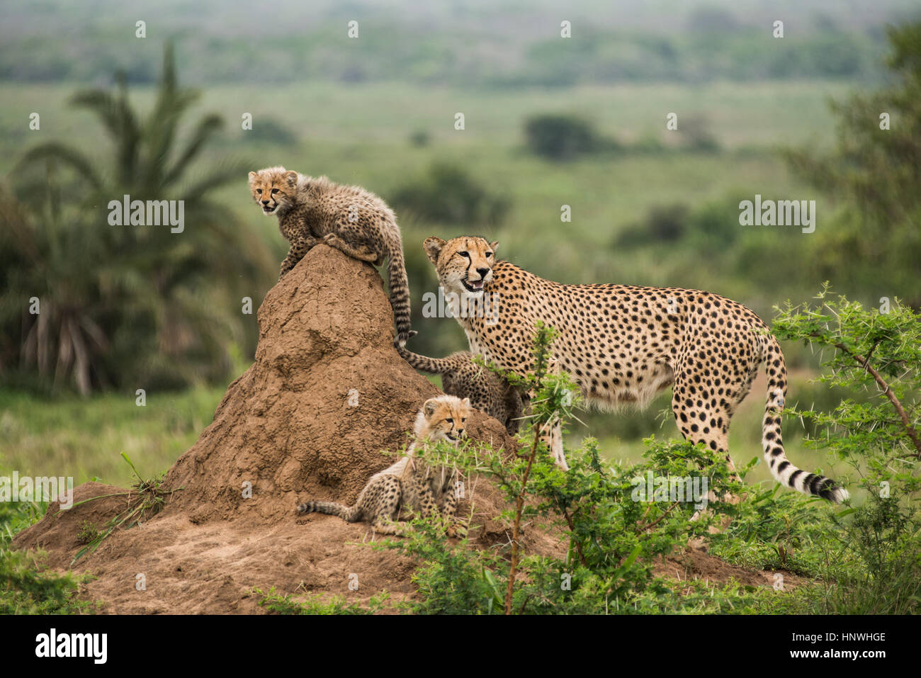 Cheetah mother and her cubs rest on top of termite hill, looking out for prey and predators, Phinda Game Reserve, - Stock Image