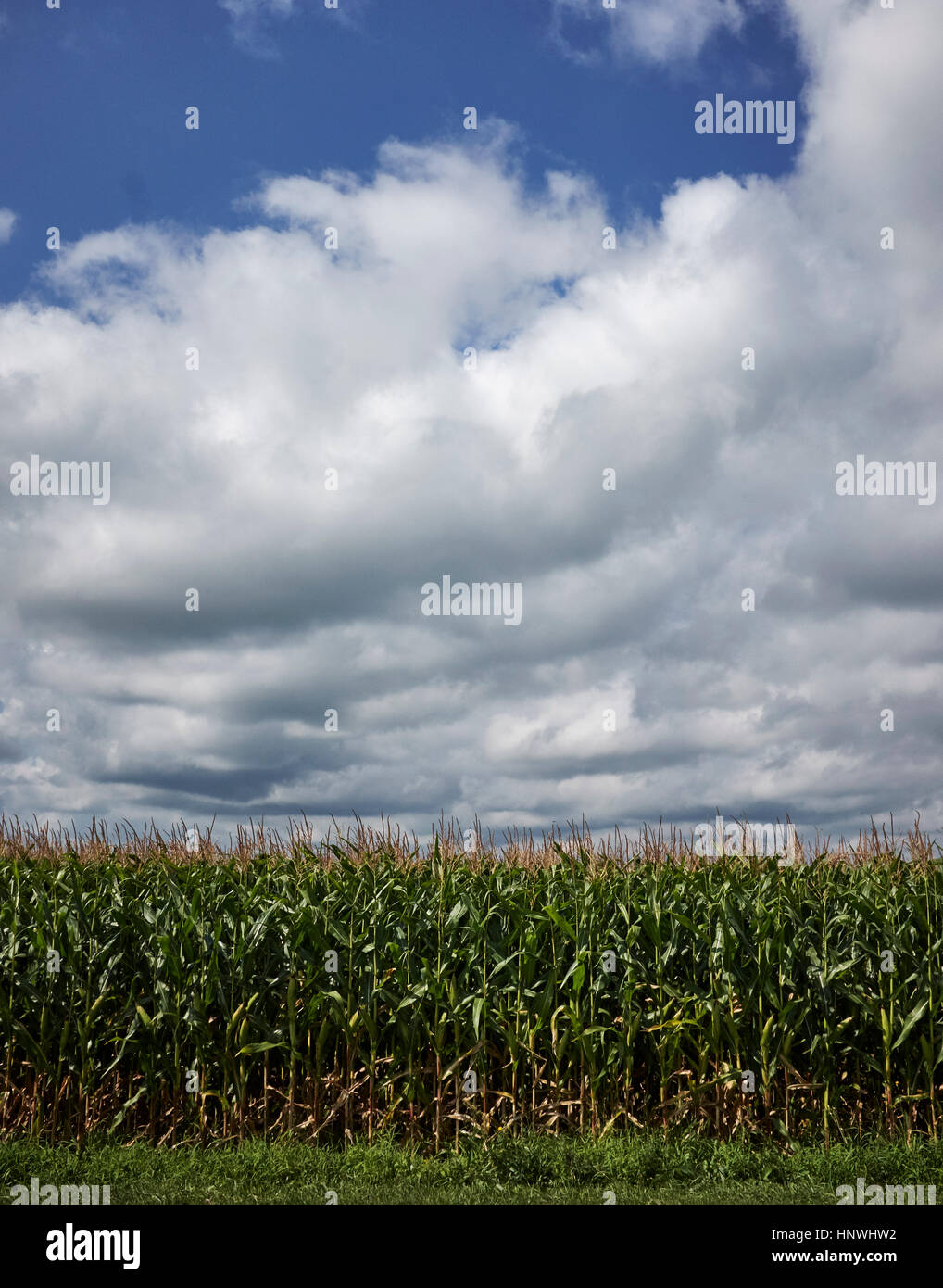 Edge of wheat field in summer, cloudy blue sky - Stock Image