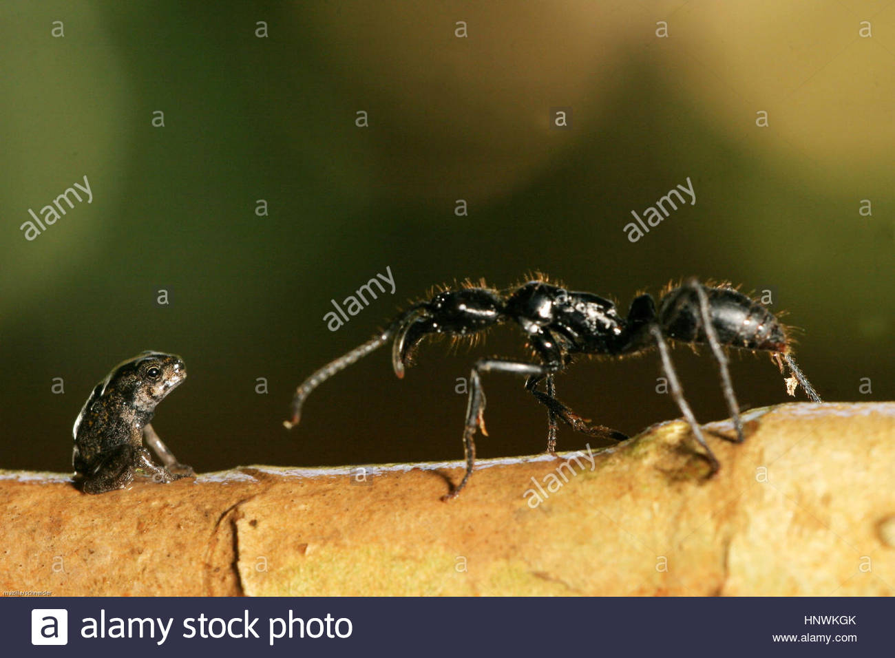 A ponara ant and a small buffalo toad (bufo marinus), Guyana. - Stock Image