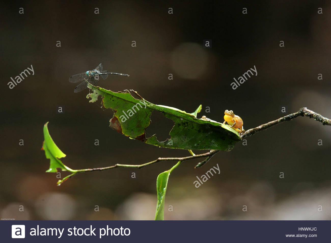 Hyla minuta frog on a leaf, Guyana. - Stock Image