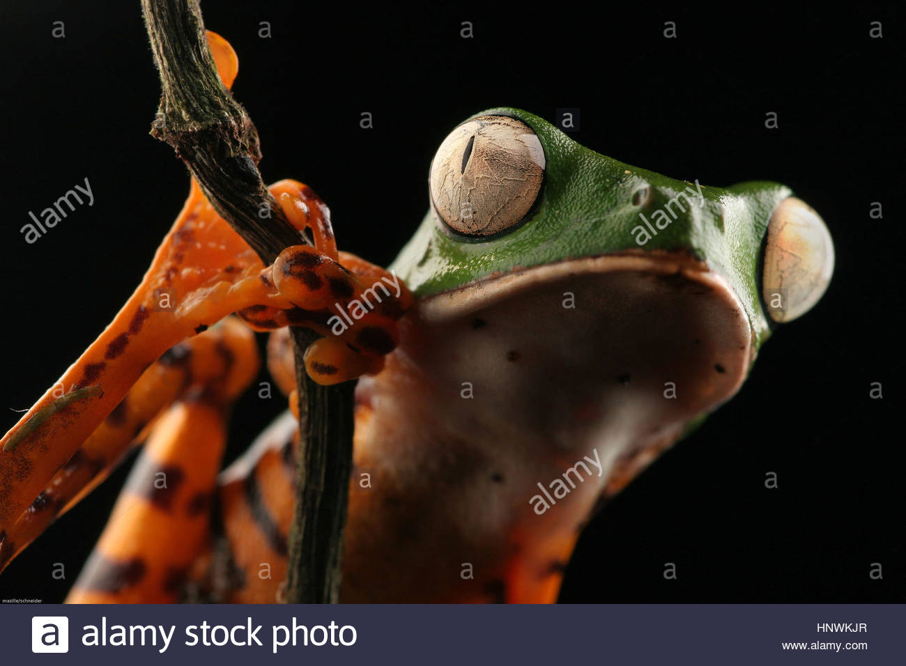 A phyllomedusa tomopterna frog on a tree branch, Guyana. - Stock Image