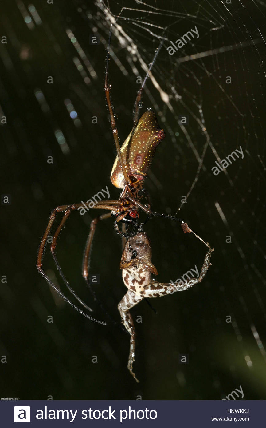 Spider catching a chiasmocleis frog French Guyana - Stock Image