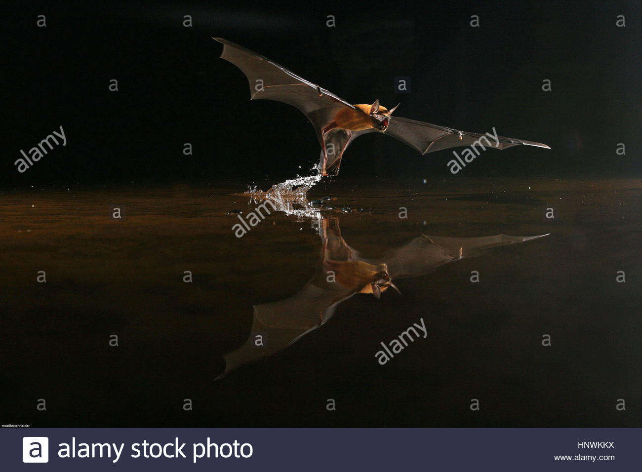 A bat flys and catches a frog in the water, French Guyana. - Stock Image