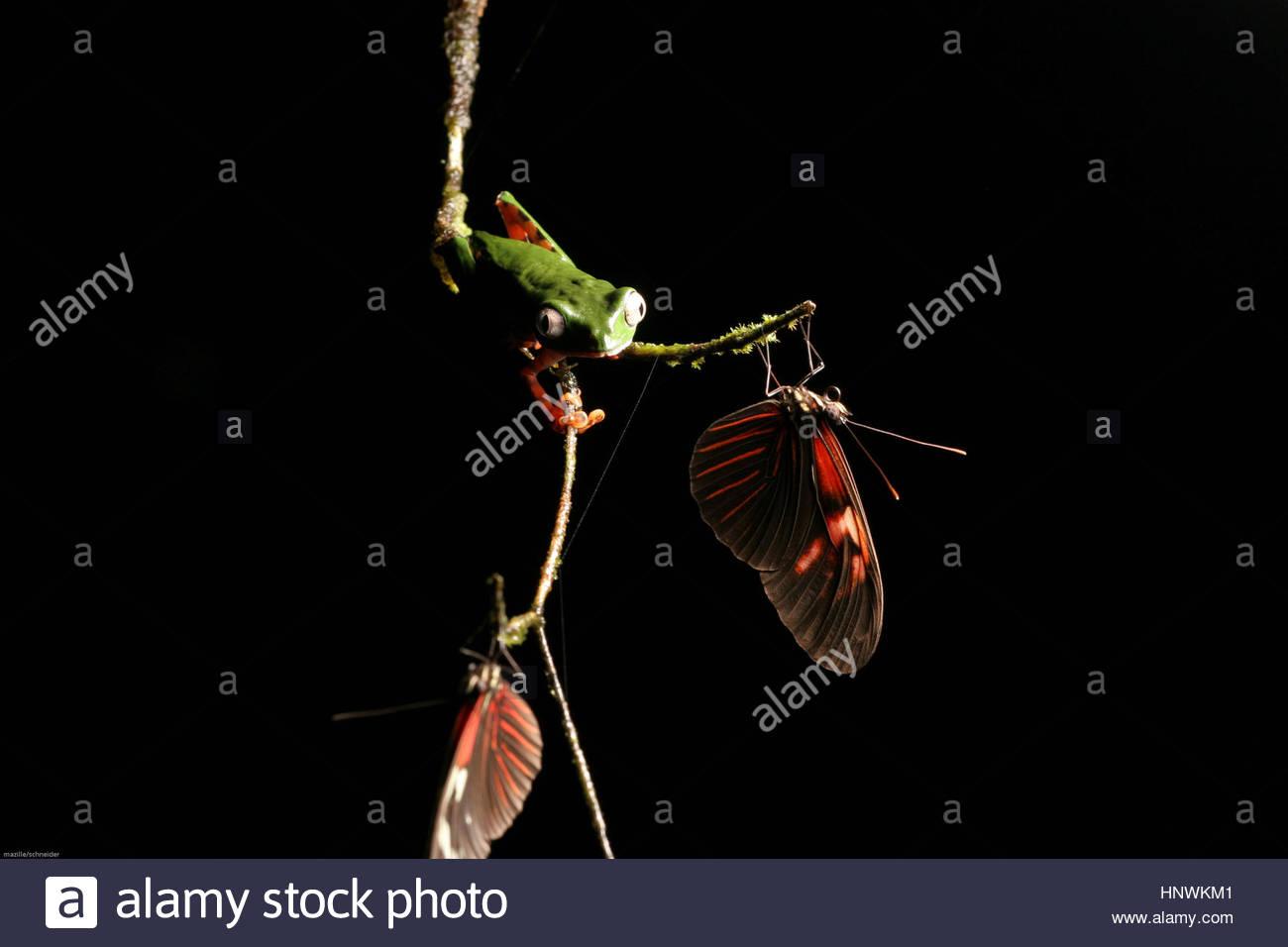 A phylomedusa tomoperna frog with a butterfly on a branch, Guyana. - Stock Image