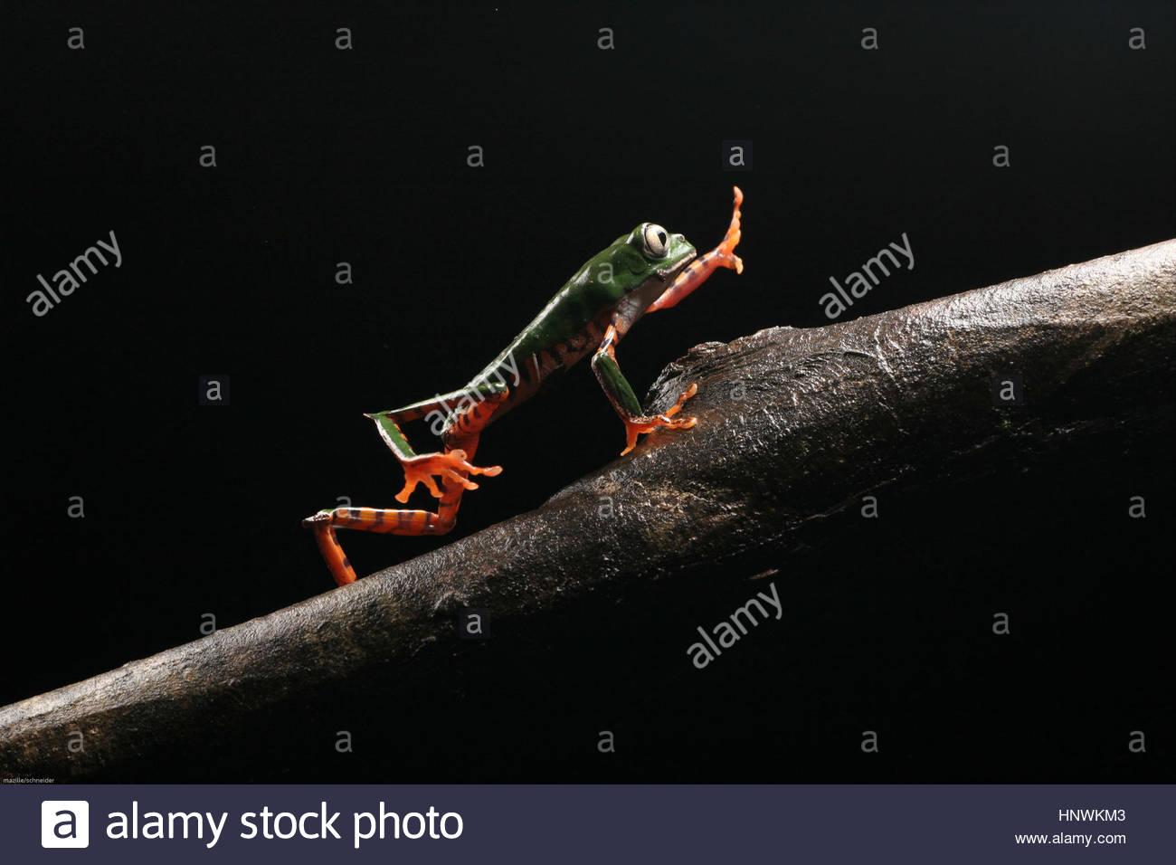 A phylomedusa tomoperna frog on a branch, Guyana. - Stock Image