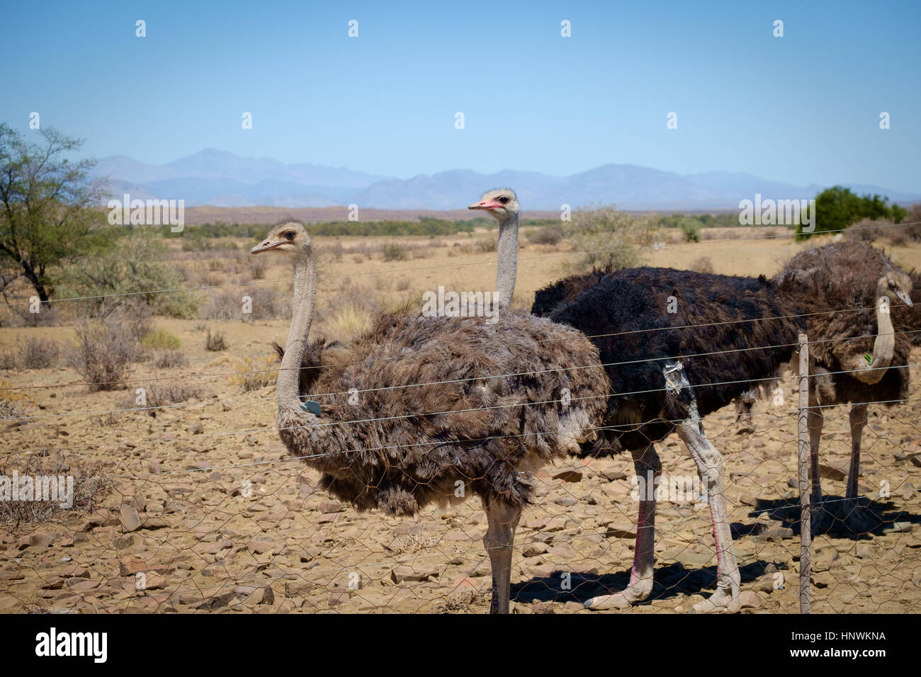 Ostriches in the Little Karoo near Prince Albert - Stock Image