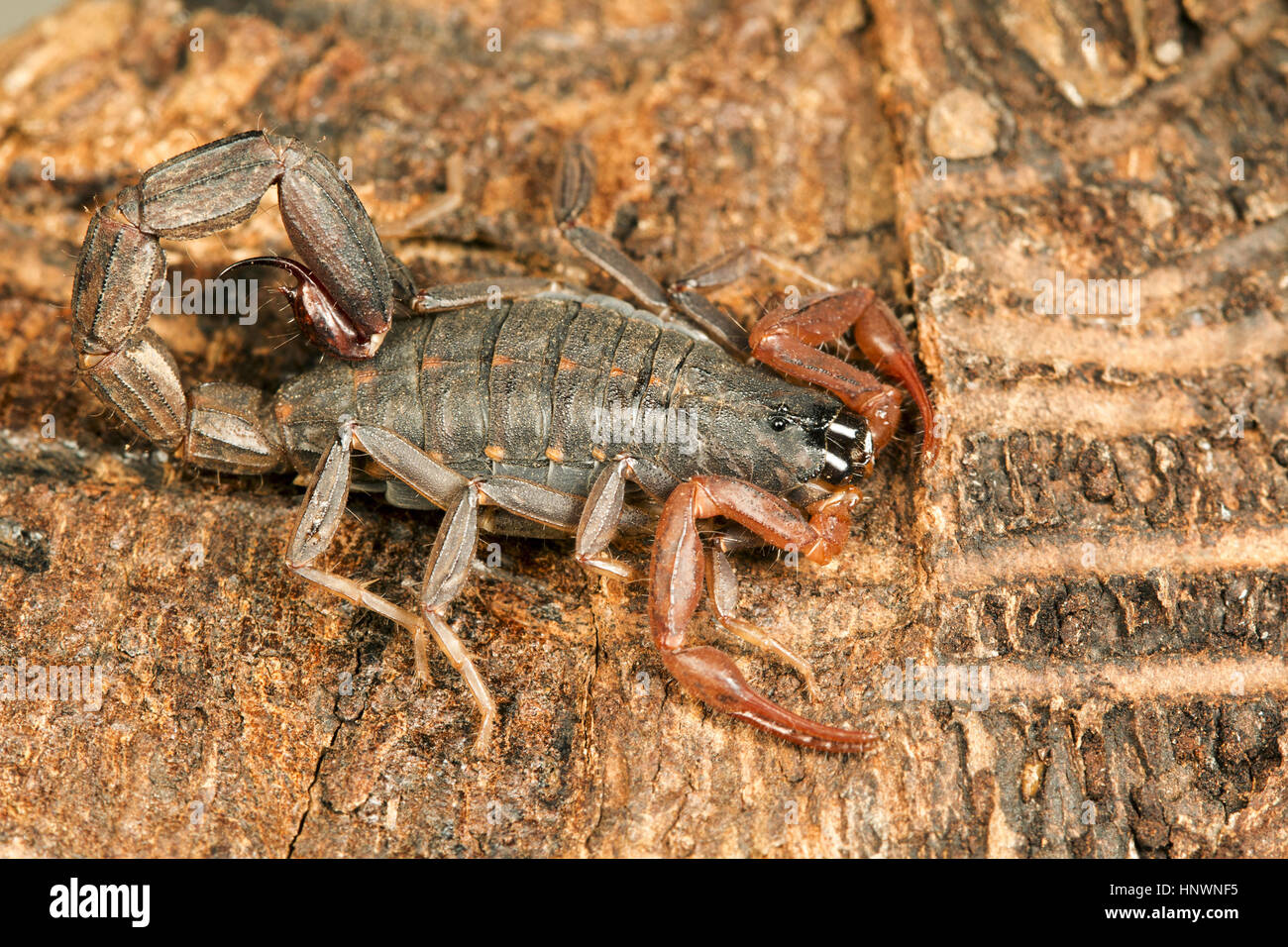 Three keeled bark scorpion, Lychas tricarinatus, Udanti