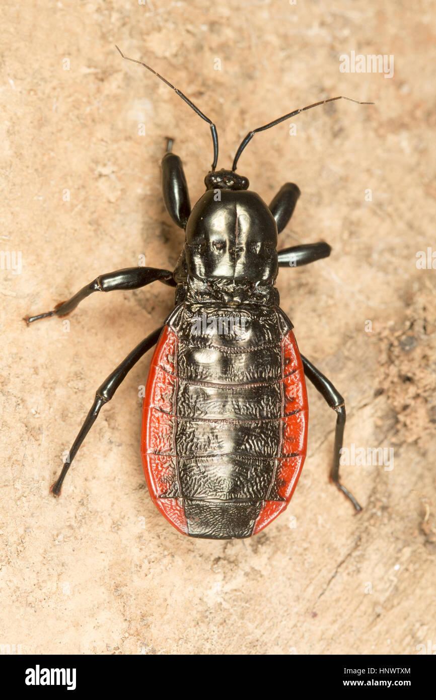 Beetle, Sitanadi WLS, Chhattisgarh. - Stock Image