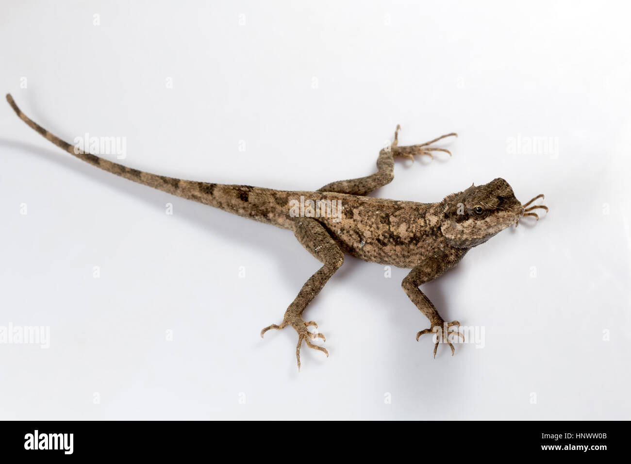 Rock agama, Psammophilus blanfordanus, Udanti Tiger Reserve, Chhattisgarh. Blanford's rock agama is found in - Stock Image