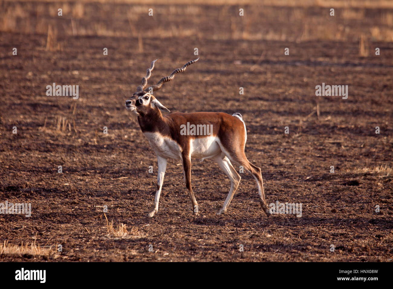 Black buck with prominant scent gland on side of face in stubble field in India - Stock Image