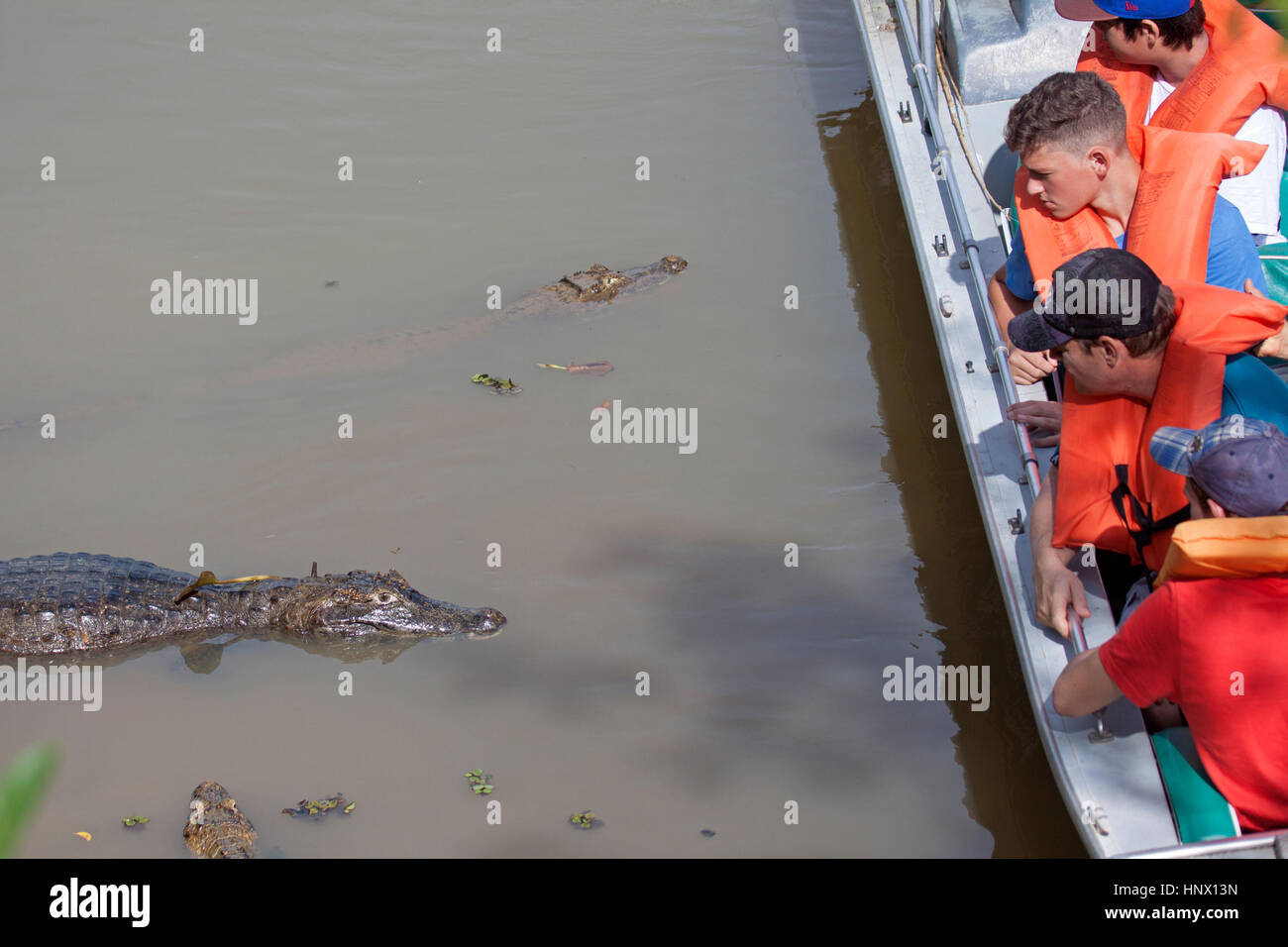Tourists having a close encounter with Caiman in river in Brazil - Stock Image